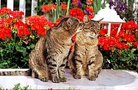 two tabby domestic cats _ sitting in front of flowers _ smooching
