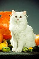 white Maine Coon _ sitting between pumpkins