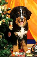 Bernese cattle dog _ puppy next to christmas tree