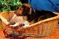 half breed dog _ lying in basket