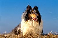 Collie _ lying on meadow