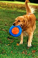 Golden Retriever _ playing with frisbee