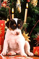 Jack Russell Terrier puppy _ sitting in front of christmas tree