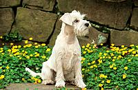 miniature schnauzer _ sitting in front of flowers