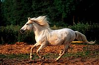 Camargue horse _ galloping