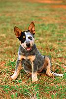 Australian Cattle dog _ sitting on meadow