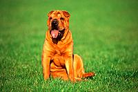 Shar Pei _ sitting on meadow