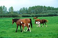 two Welsh Ponies with foal