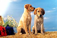 two young Golden Retriever _ sitting in straw