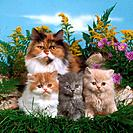 Persian cat with three kittens _ sitting on meadow