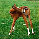 Holsteiner _ foal standing on meadow