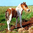 Shetlandpony _ foal standing on meadow