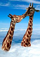 two giraffes _ kissing / Giraffa camelopardalis