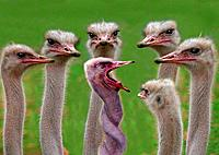 ostriches _ one with twisted neck / Struthio camelus