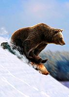 brown bear is sledding / Ursus arctos