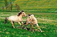 two Norwegian Fjords _ playing on meadow