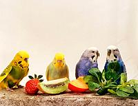 four budgerigars with fruits / Melopsittacus undulatus