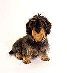 wire_haired dachshund _ cut out