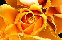 yellow blossom of a rose / Rosa