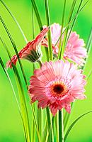 three gerberas / Gerbera spp