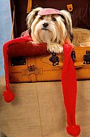 dog _ lying in suitcase