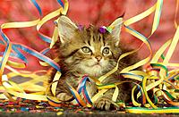 Maine Coon kitten _ lying between paper streamers