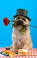 Cairn Terrier with top hat and rose in muzzle