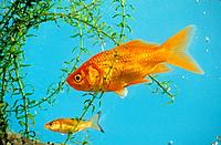 goldfish with cub / Carassius auratus
