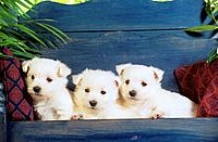 three West Highland Terrier puppies on bench