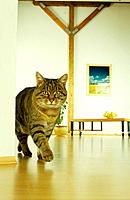 domestic cat_ walking