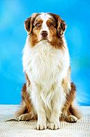 Australian Shepherd _ sitting _ cut out