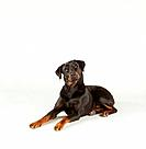 Rottweiler _ lying _ cut out
