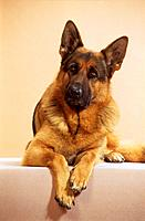 German Shepherd dog _ lying _ cut out