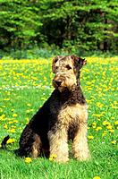 young Airedale Terrier _ sitting on meadow