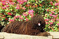 Puli _ lying in front of flowers