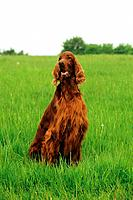 Irish Setter _ sitting on meadow