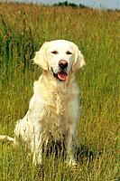 Golden Retriever _ sitting on meadow