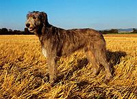 Irish Wolfhound - standing on stubble field (thumbnail)