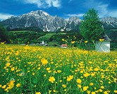 Oilseed rape flowers blooming in field, Leogang, Leoganger Steinberge, Birnhorn, Westwand, Pinzgau, Salzburg, Austria