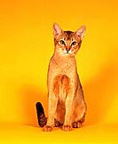 Abyssinian cat _ sitting