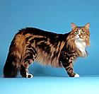 Maine Coon _ standing _ cut out