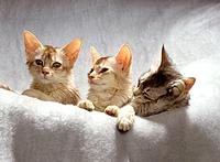 three Somali cats on blanket