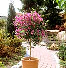 Bougainvillea / Bougainvillea spectabilis