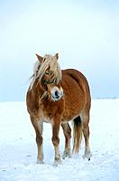 Haflinger _ standing in snow