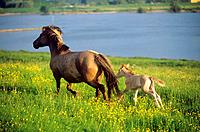 Konik with foal on meadow