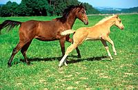 Quarter Horse with foal on meadow