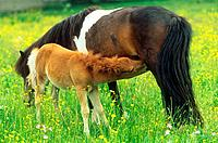 mare suckling foal