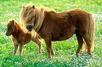Shetlandpony _ mare with foal on meadow