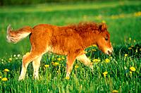 Shetlandpony _ foal on meadow