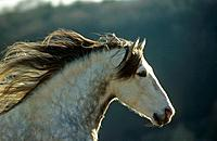 Pure Spanish_bred _ portrait